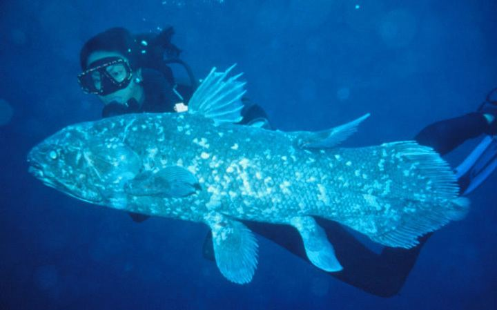 Coelacanth Smithsonian Institution The Coelacanth More Living than Fossil