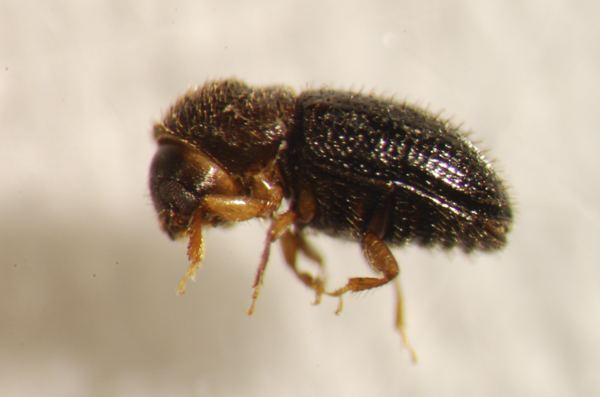 Coffee borer beetle Pesteating birds mean money for coffee growers Stanford biologists