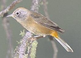 Colima warbler COLIMA WARBLER The Texas Breeding Bird Atlas