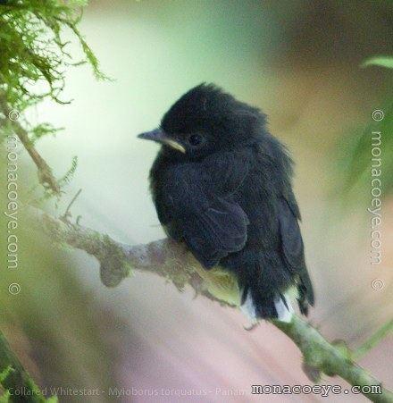 Collared whitestart Collared Whitestart Parulidae New World Warblers Whitestarts