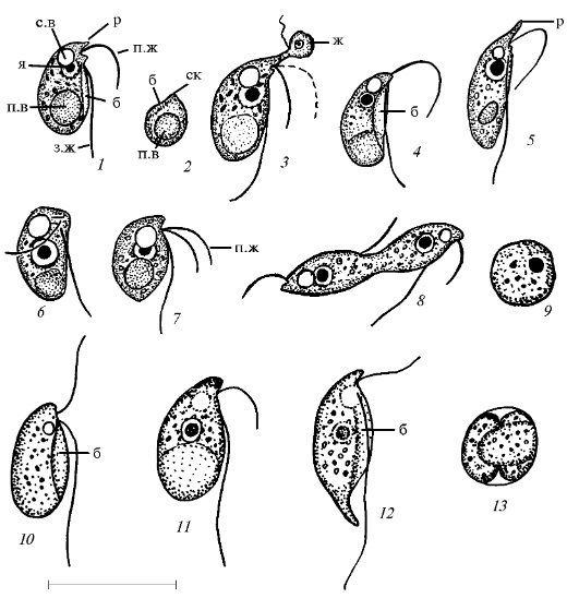 Colpodella icpicslivejournalcomaspidisca51687445243157