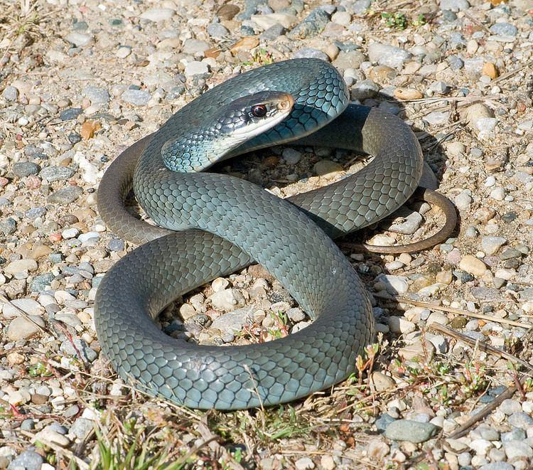 Coluber Constrictor Foxii Blue Racer LaGrange County In Flickr
