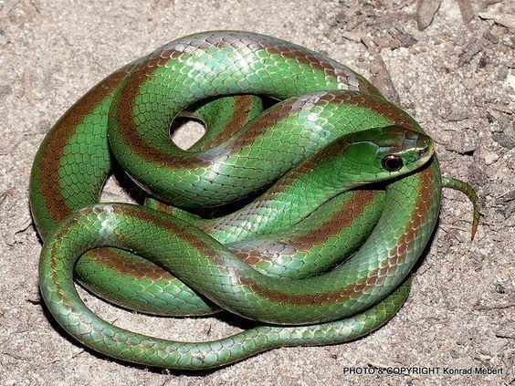 Colubridae Jaeger39s Ground Snake This beautiful snake is Liophis jaegeri
