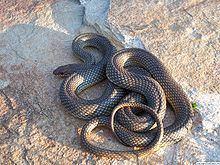 Colubridae httpsuploadwikimediaorgwikipediacommonsthu