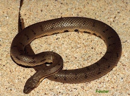 Colubridae The Reptiles of Australia Colubrid snakes page