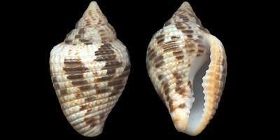 Columbella Columbellidae pictures