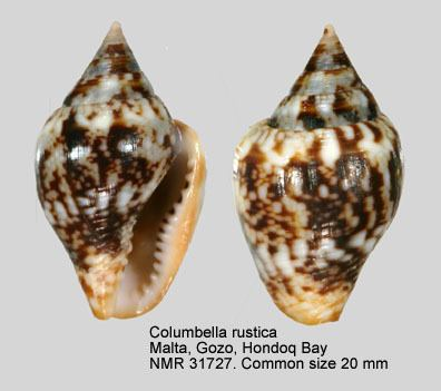 Columbella rustica HomeNATURAL HISTORY MUSEUM ROTTERDAM Mollusca Gastropoda