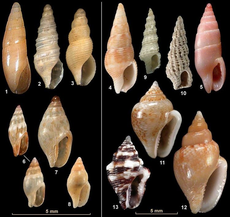 Columbellidae Family Columbellidae