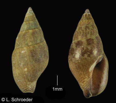 Columbellidae Gastropods Columbellidae