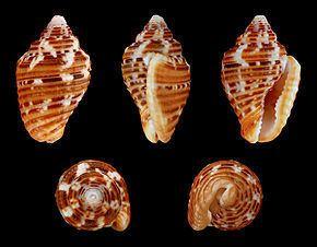 Columbellidae Columbellidae Wikipdia
