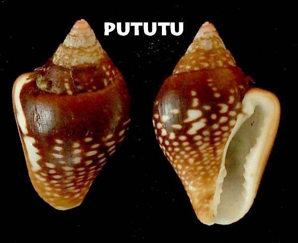 Columbellidae pututubeta