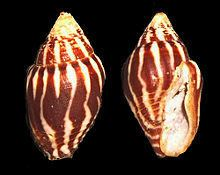 Columbellidae httpsuploadwikimediaorgwikipediacommonsthu