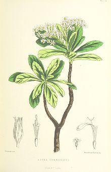 Commidendrum spurium httpsuploadwikimediaorgwikipediacommonsthu