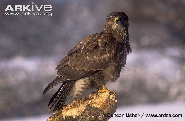 Common buzzard Common buzzard videos photos and facts Buteo buteo ARKive