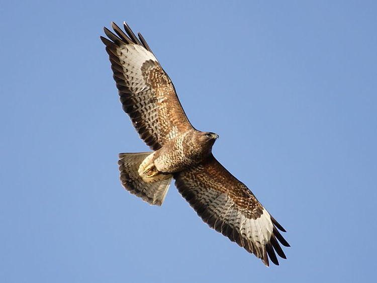 Common buzzard 1000 images about Week 001 Common Buzzard on Pinterest