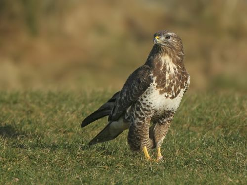 Common buzzard Interview with Peter Dare about the ecology and conservation of the