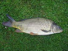 Common carp httpsuploadwikimediaorgwikipediacommonsthu