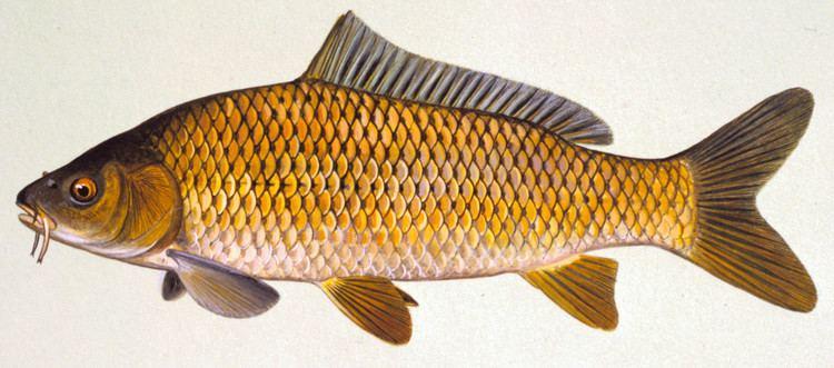 Common carp Fish Details