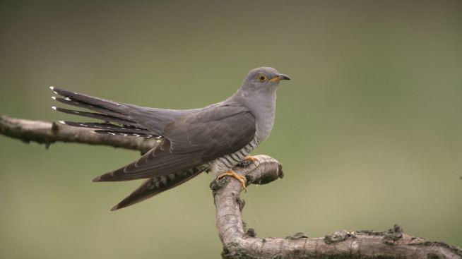 Common cuckoo Common Cuckoos Birds Animals Eden Channel