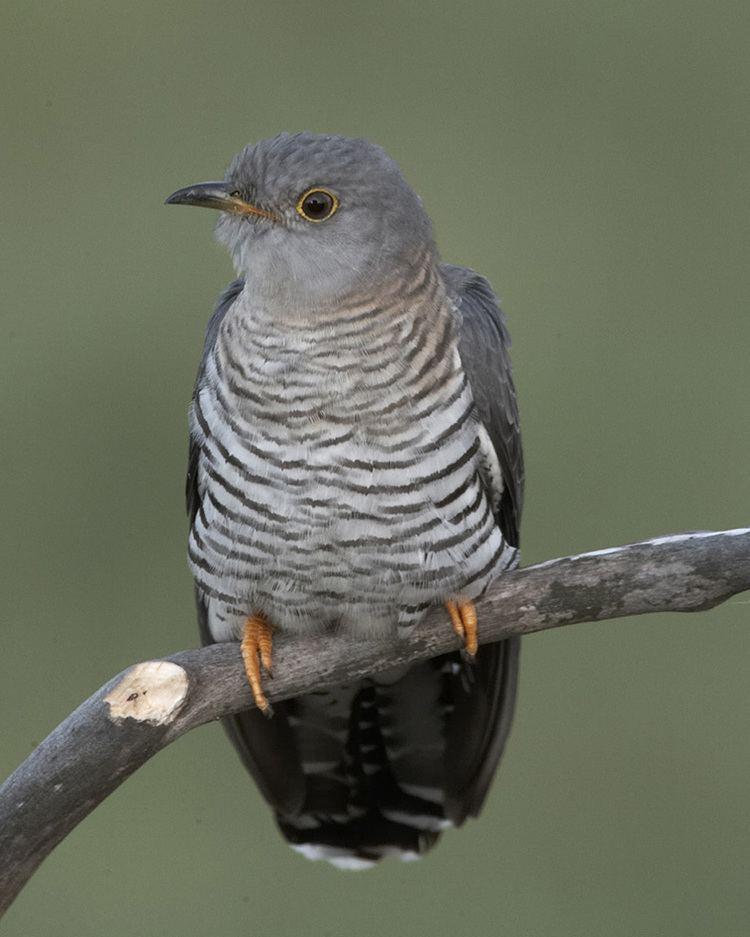 Common cuckoo d2fbmjy3x0sduacloudfrontnetsitesdefaultfiles