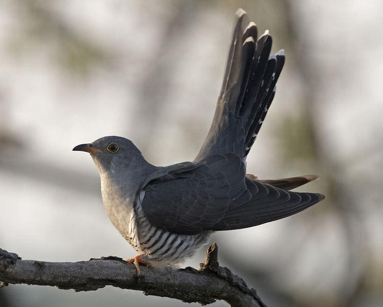 Common cuckoo Common Cuckoo Audubon Field Guide