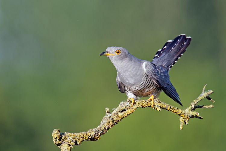 Common cuckoo Common cuckoo