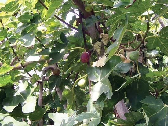 Common fig fig plant and fruit Britannicacom