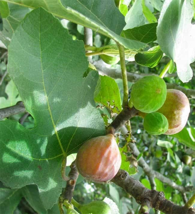 Common fig Common Fig Ficus carica
