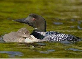 Common loon Common Loon Identification All About Birds Cornell Lab of