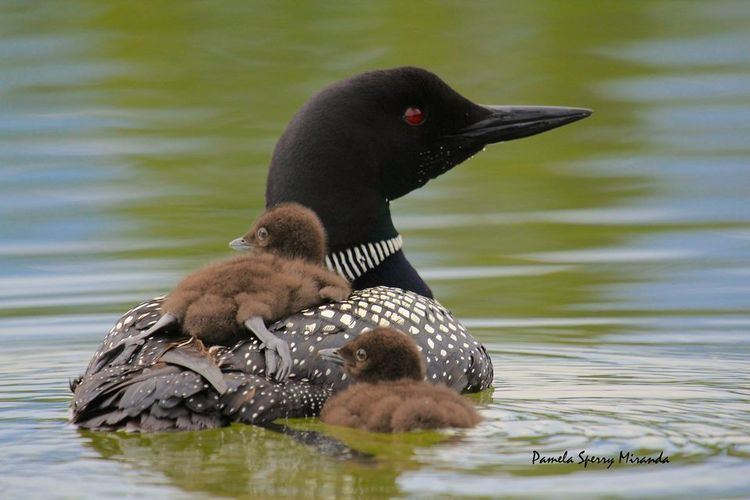 Common loon Common Loons Common Loon Pictures Common Loon Facts National