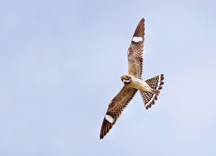 Common nighthawk Common Nighthawk Audubon Field Guide