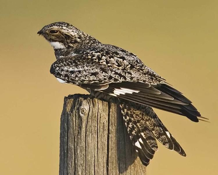 Common nighthawk d2fbmjy3x0sduacloudfrontnetsitesdefaultfiles