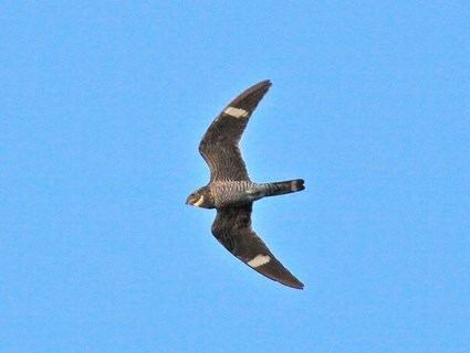 Common nighthawk Common Nighthawk Identification All About Birds Cornell Lab of