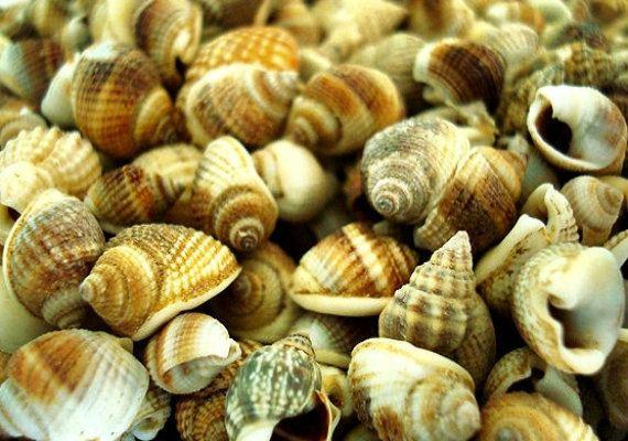 Common nutmeg Common Nutmeg Seashells appx 300 pcs Seashell Supply