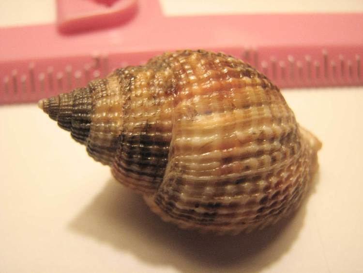 Common nutmeg FileCommon nutmeg 12jpg Wikimedia Commons
