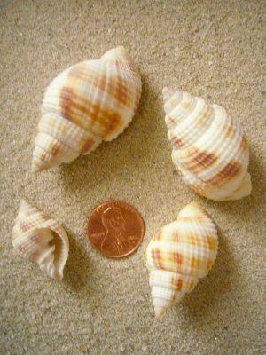 Common nutmeg Common Nutmeg Cancellaria reticulata Linnaeus 1767 Plicated