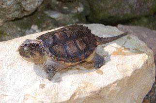 Common snapping turtle Common Snapping Turtle Outdoor Alabama