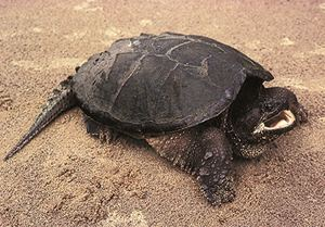 Common snapping turtle DNR Common Snapping Turtle Chelydra serpentina