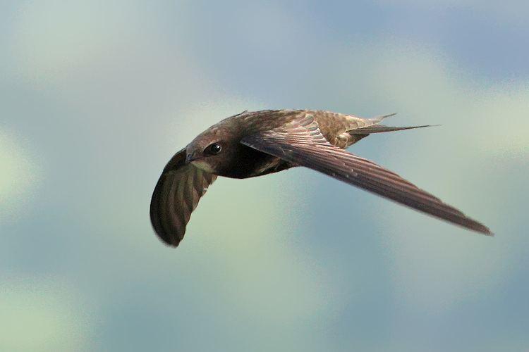 Common swift Common swift