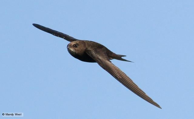 Common swift BBC Nature Common swift videos news and facts