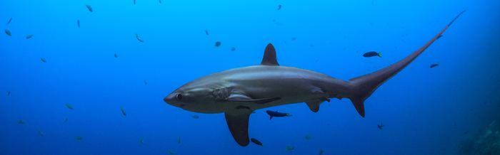 Common thresher Common Thresher Shark World Land Trust