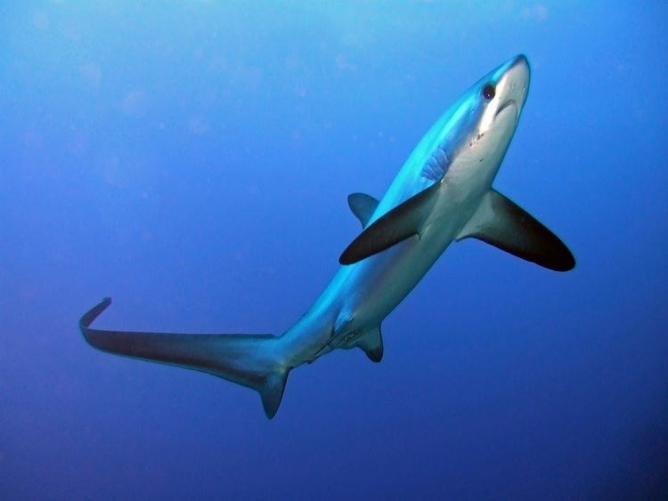 Common thresher Common Thresher Shark take a bite out of your research