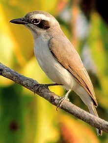 Common woodshrike httpsuploadwikimediaorgwikipediacommonsthu