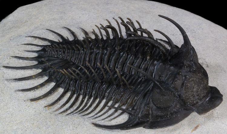 Comura Comura Trilobites For Sale FossilEracom