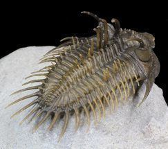 Comura Comura Bultyncki Reconstructed Spines For Sale 2112 FossilEracom