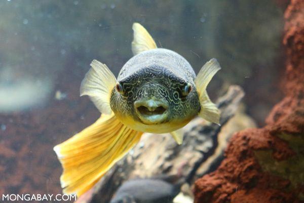 Congo pufferfish Congo puffer fish Tetraodon miurus