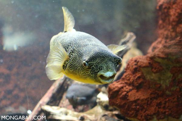 Congo pufferfish Congo river puffer fish Tetraodon miurus
