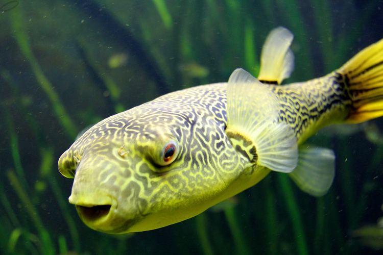 Congo pufferfish KongoKugelfisch Congo pufferfish KongoKugelfisch im Zo Flickr