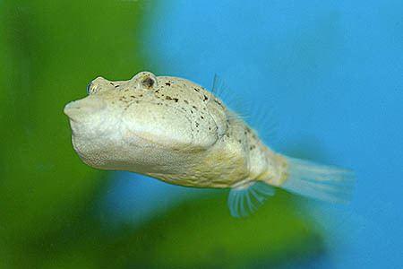Congo pufferfish wwwseriouslyfishcomwpcontentuploads201203t