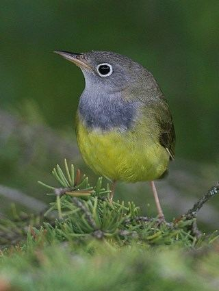 Connecticut warbler httpswwwallaboutbirdsorgguidePHOTOLARGECO